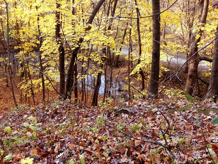 brighten: Red oak leaves and yellow maple brighten the woodlands after a frost.
