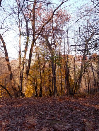 Red oak leaves and yellow maple brighten the woodlands after a frost. Stock Photo - 8228762