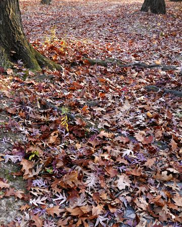 Dry oak leaves give a reddish bronze color to the forest floor. Stock Photo - 8228721