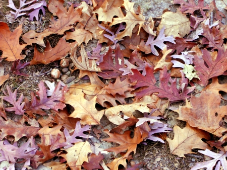 fallen acorns and leaves of oak litter the ground Stock Photo