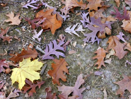 colorful leaves of oak and maple litter the ground Stock Photo - 8228714