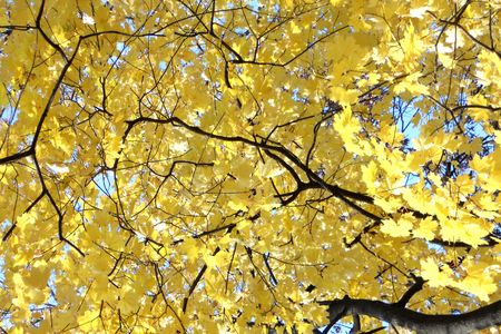 Pale golden yellow maple leaves form a forest canopy Stock Photo - 8228715