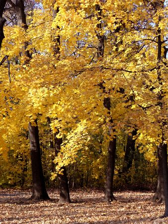 Golden yellow maple leaves brighten the woods after a frost. Stock Photo - 8228763
