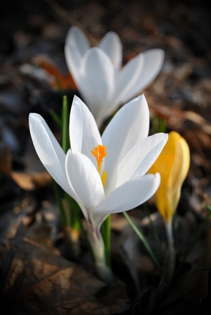Crocus; first flower of spring pushes through last autumn's leaves. Stock Photo - 9239785