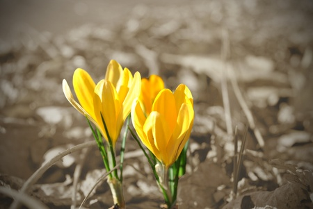 Crocus, first flower of spring, marks the end of winters dull days.  Selective coloring.