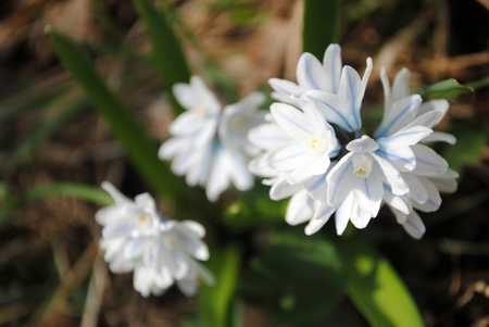 Tiny white scilla flowers with blue veins bask in the warm spring sunlight.