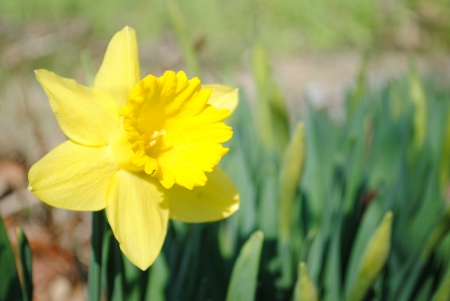 Single yellow daffodil against bright green foliage.