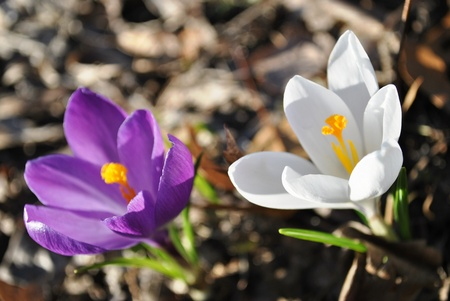 Purple and white crocus bring life to the spring garden. Reklamní fotografie - 9525350