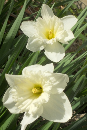 tilted view: Two white daffodils nodding gaily in the spring sunshine. Tilted view.