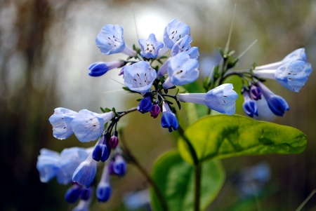 The Virginia Bluebell (Mertensia virginica) also called Virginia Cowslip, Lungwort Oysterleaf, Roanoke Bells; native to the woodlands of eastern North America