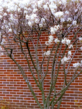 Spring flowering bush filled with white blossoms against a red brick wall.  Good background for your copy.