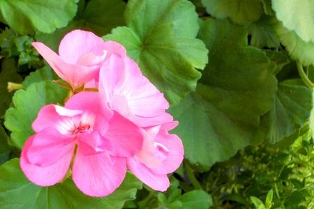 녹색 단풍과 핑크 제라늄의 꽃입니다. 필드, 꽃에 초점의 얕은 깊이.