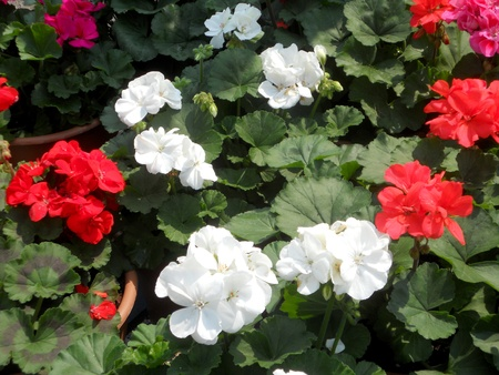Geraniums in many colors Stock Photo