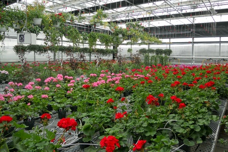 Geraniums and other garden plants being raised in a greenhouse. Stock Photo