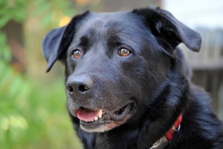 Closeup of the head of a dog; Labrador retreiver. Outdoors. Imagens - 10014269