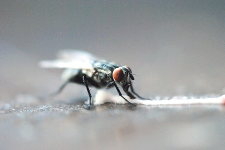 feasting: Housefly feasting on a spilled trail of sweet frosting.
