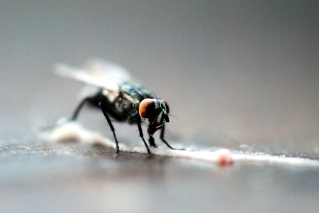 Housefly feasting on a spilled trail of sweet frosting.