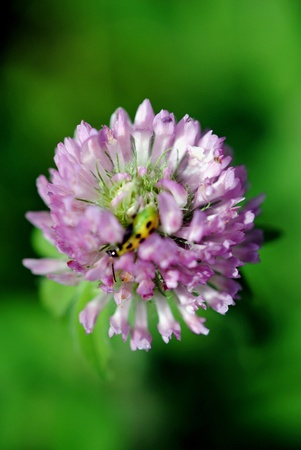 red clover: A tiny yellowjacket wasp sucks nectar from the flower of sweet red clover.