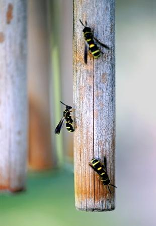 Yellowjacket wasps on a weathered bamboo wind-chime. Фото со стока