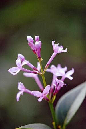 A tiny sprig of lilac blossoms.