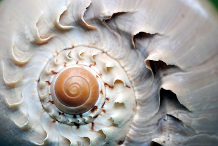 Jagged spiral end of a seashell from the Phillipine Islands.  Shallow DOF Фото со стока