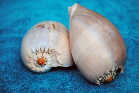 mollusc: Two large seashells from the Phillipine Islands.  Isolated on blue. Stock Photo