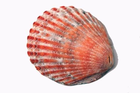 Bright orangey-pink seashell isolated on white