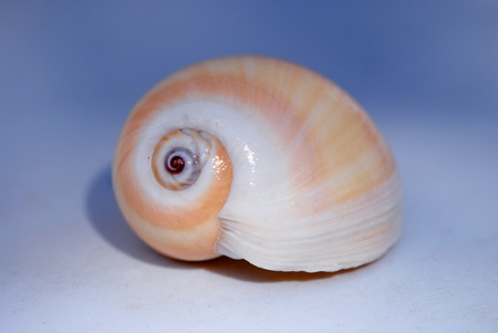 spiral seashell; isolated on neutral background