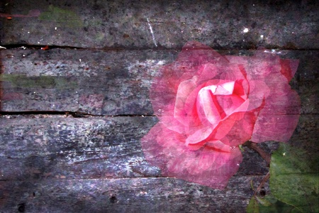 fading: Pink rose fading like a memory into distressed wood background