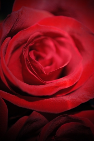 Red rose. Stock Photo - 10604255