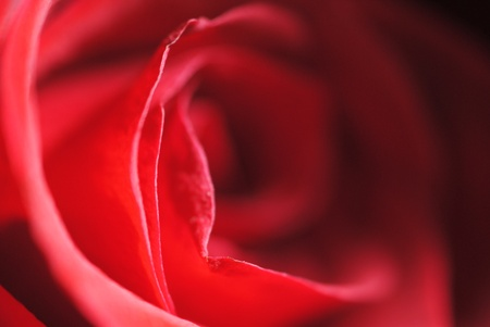 Mysterious red rose, half in light, half in shadow. Stock Photo - 10604256