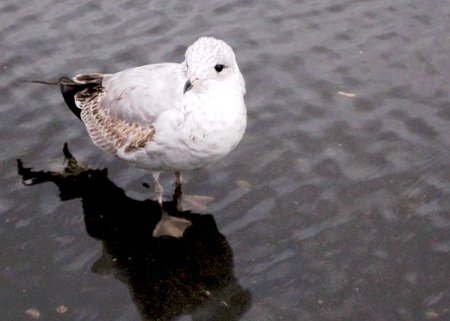 Seagull wading in a shallow puddle.