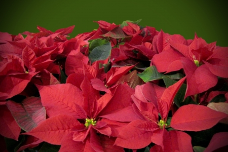Bright red poinsettia flowers on a green background. The poinsettia is sometimes called the Christmas star flower.  Plenty of copy space.
