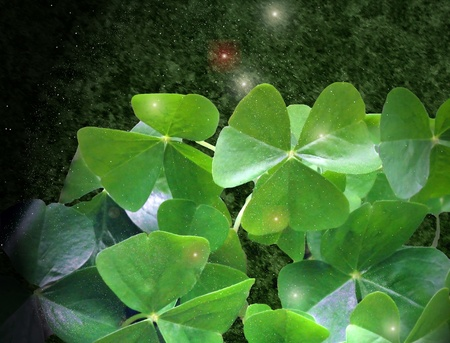 three leaved: A sprinkle of magical lucky pixie dust on the leaves of the shamrock.  Three-leaved oxalis is often called false shamrock. Stock Photo