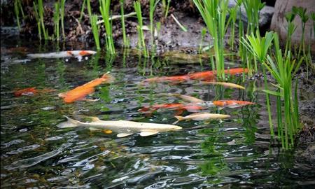 Graceful koi brighten the waters of the garden pond
