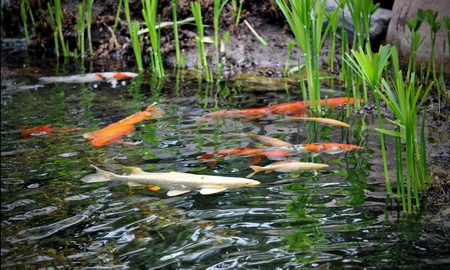 Graceful koi brighten the waters of the garden pond