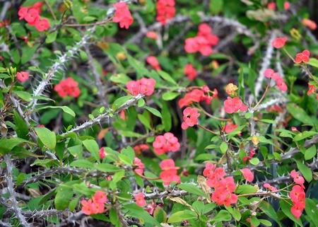 繊細なピンクの花、オニヒトデ サボテンの残酷なとげを裏切る