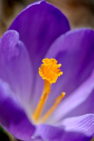 Purple crocus Reklamní fotografie