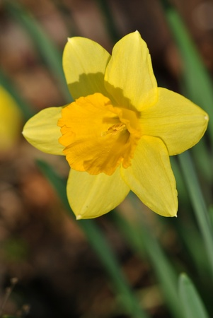 Daffodil in the warm spring sunlight  Stock Photo