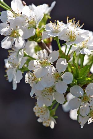 cherry blossoms; shallow DOF