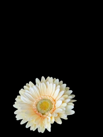 Pale cream-colored daisy isolated on black; lots of space for copy Stock Photo - 12985937