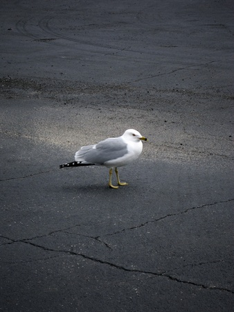 scavenging: Seagull scavenging in a parking lot