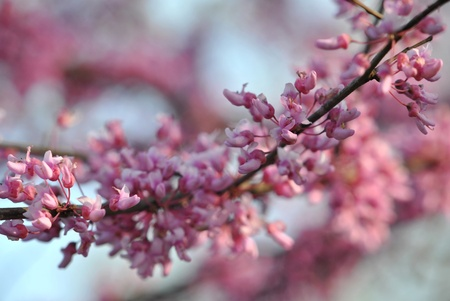 redbud tree: The redbud tree, cercis canadensis, is covered with tiny pink blossoms in springtime   Shallow DOF Stock Photo
