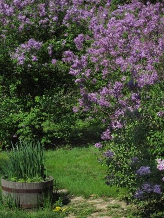 El camino de piedra conduce entre la cobertura de color lila y el bote de hierbas en el patio cubierto de hierba