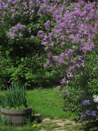 The stone path leads between the lilac hedge and the pot of herbs into the grassy yard