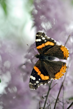 Red Admiral butterfly feeding on lilac blossoms