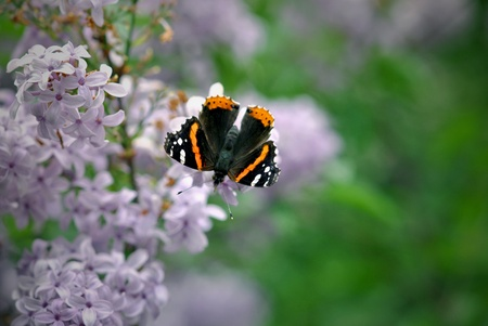 The Red Admiral  vanessa atalanta  butterfly finds shelter from the wind and a delicious meal on the lilac bush   Closeup; shallow DOF