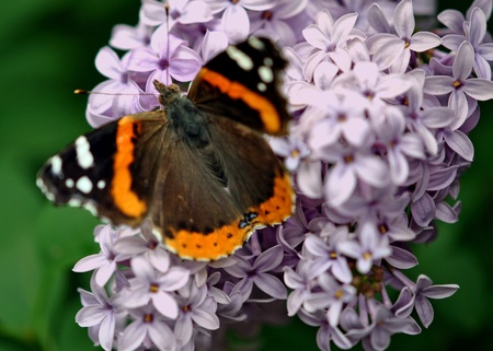 admiral: Red Admiral butterfly feeding on lilac blossoms