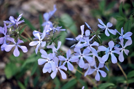 Wild Blue Phlox  Phlox divaricata   also called woodland phlox or wild Sweet William, is native to forests and fields in eastern North America  photo