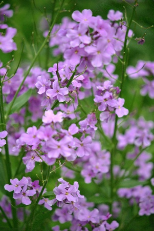 gillyflower: Dames Rocket (Hesperis matronalis) was brought to North America from Europe in the 17th century, and grows wild in woodlands, fields, and ditches, and is also used widely as a garden flower.  Stock Photo